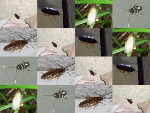 ゴキブリ目